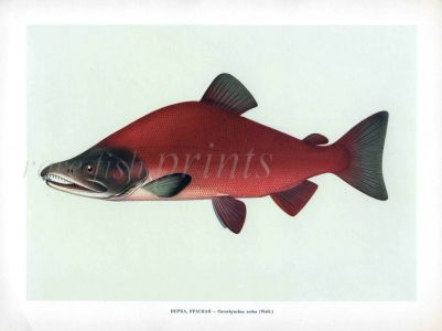 THE RED SALMON or SOCKEYE SALMON print