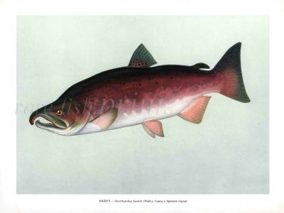 THE COHO SALMON or SILVER SALMON male print