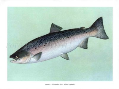 THE COHO SALMON or SILVER SALMON Female print