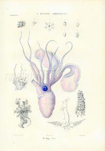 FERUSSAC - MARINE LIFE: THE ARGONAUT OCTOPUS print (Argonauta Argo)) PL. 1