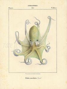 VERANY: MUSKY OCTOPUS print (eledone moschata) 1851