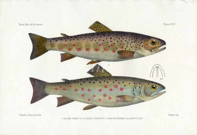 THE COMMON TROUT print