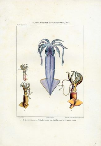 FERUSSAC - MARINE LIFE: THE HOOKED SQUID print (ONYCHOTEUTHIS) PL. 2