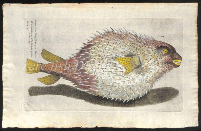 THE PORCUPINE FISH print
