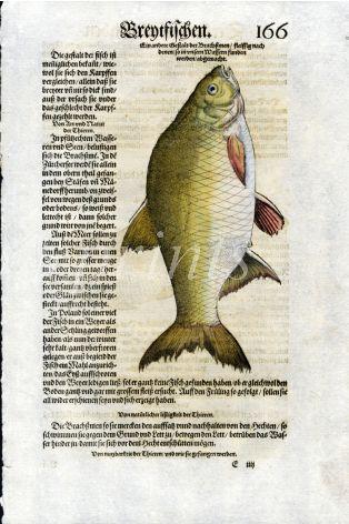 1598 GESNER FISH PRINT - THE BRONZE BREAM