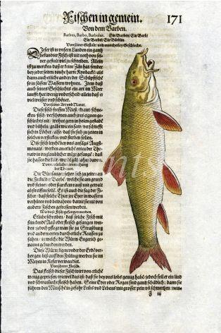 1598 GESNER FISH PRINT - THE BARBEL
