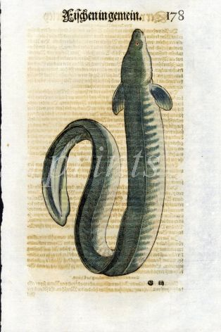 1598 GESNER FISH PRINT - THE EEL