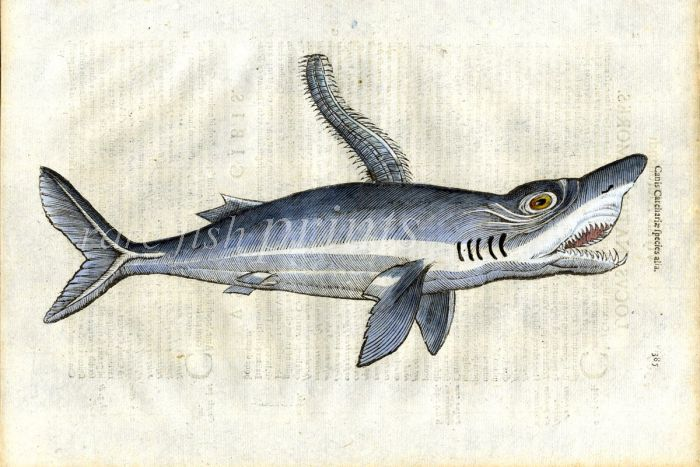 SEA MONSTERS - THE MONSTROUS SAW-FIN WHITE  SHARK print (Canis)