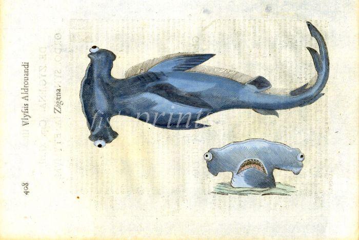ALDROVANDI - THE SMOOTH HAMMERHEAD SHARK print