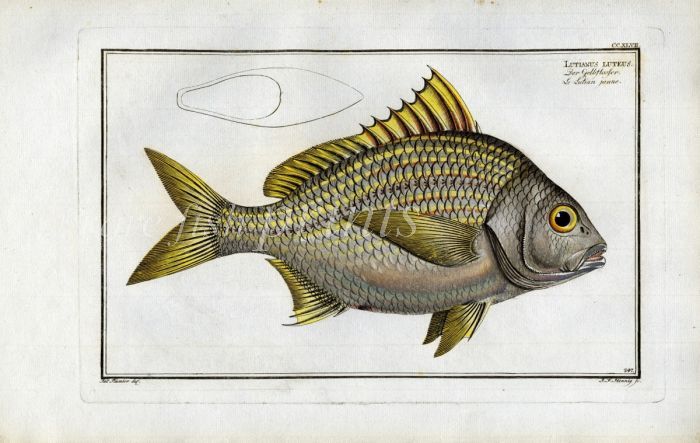THE YELLOW-FIN print (Lutiianus luteus)