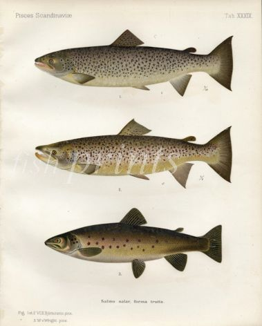 THE SEA TROUT print (Female & Male - spawning colours & freshwater)