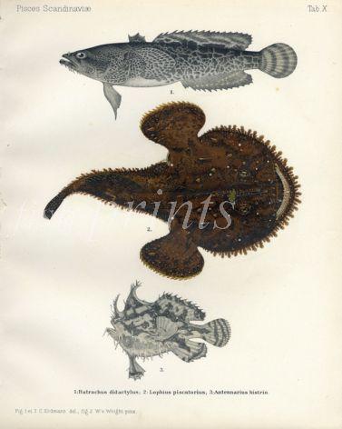 EUROPEAN TOADFISH, ANGLER,  MARBLED SARGASSO FROGFISH print (Batrachus didavtylus, Lophius piscatorius, Antennarius histrio)
