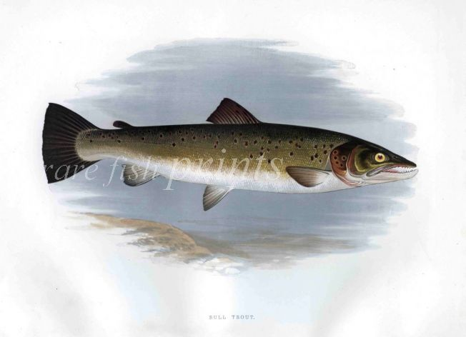 THE BULL TROUT print