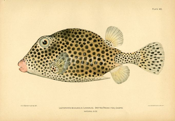 THE SPOTTED TRUNKFISH print