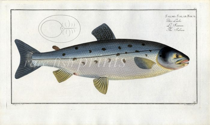 THE ATLANTIC SALMON print (Salmo Salar Foem - female)