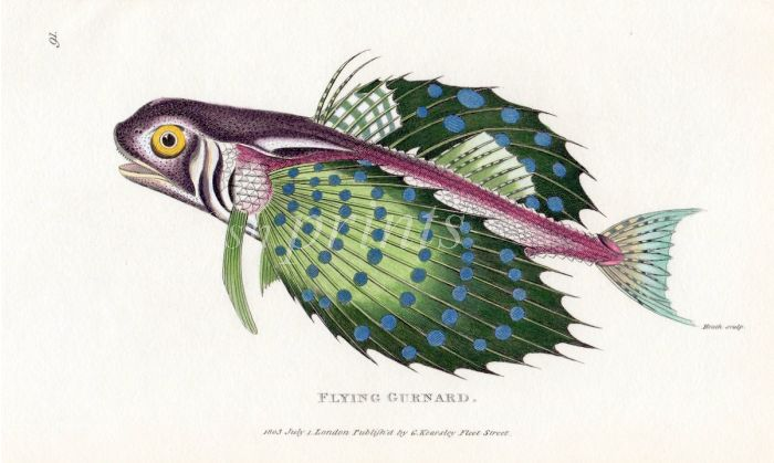 THE FLYING GURNARD print