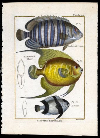 THE BANDED BUTTERFLY & ANGELFISH print