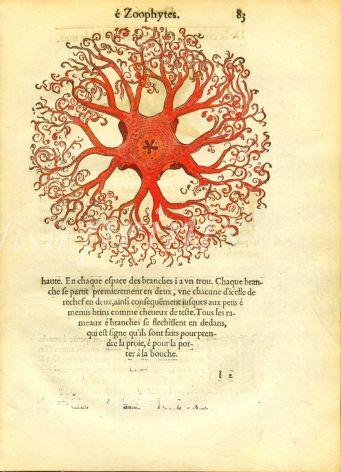RONDELET - ZOOPHYTES woodcut 1558