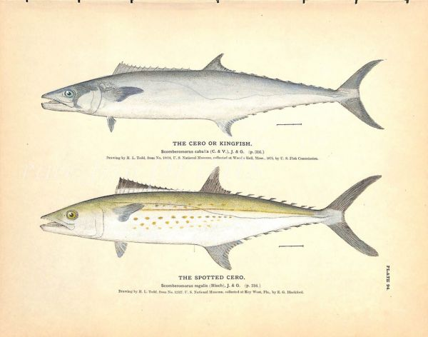 THE CERO OR KINGFISH & SPOTTED CERO print