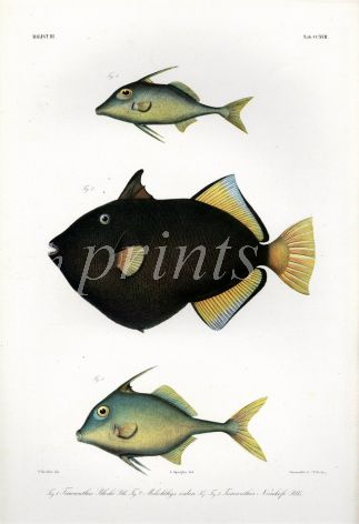 THE TRIPODFISH & PINKTAIL TRIGGERFISH print  (Triacanthus & Melicthys Vidua)