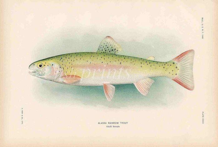 RAINBOW TROUT print (adult female)
