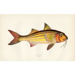 The Surmullet Striped Red Mullet Fish Print