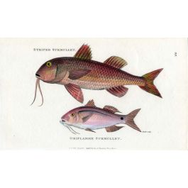 The Striped Red Mullet Oriflamme Surmullet Print