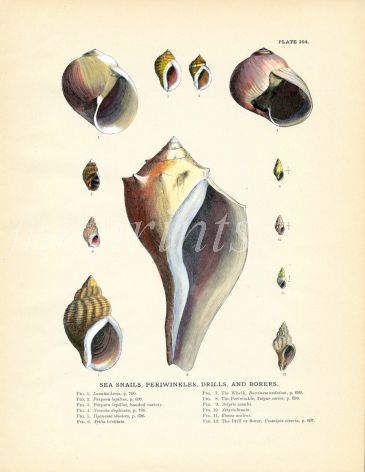 TODD - CONCHOLOGY: SEA SNAILS, PERIWINKLES, DRILLS & BORERS print