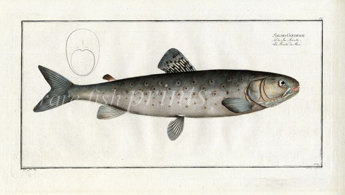 THE TROUT OF THE SEA print (Salmo Goedenii)