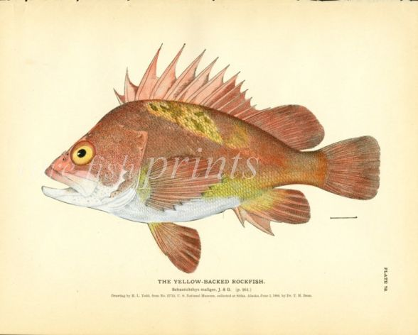THE YELLOW-BACKED ROCKFISH print