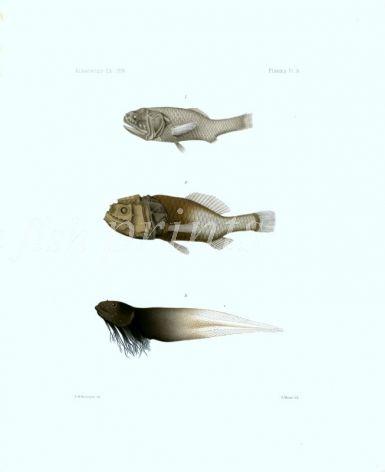 SLENDER BIG-SCALE, CRESTED BIG-SCALE, SNAILFISH  - Garman deep sea fish print