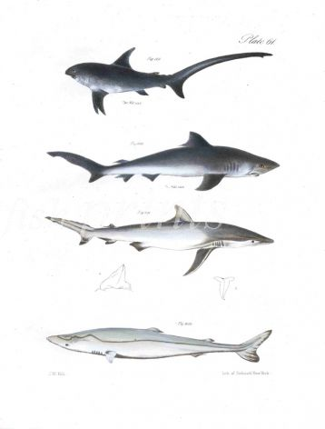 SHARKS - THRESHER, BLUE, DUSKY, NURSE fish print